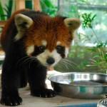 В зоопарк Кхао Кео привезли красных панд.